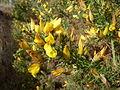 Gorse flower (3439396442).jpg