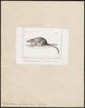 Graphiurus murinus - 1700-1880 - Print - Iconographia Zoologica - Special Collections University of Amsterdam - UBA01 IZ20400199.tif