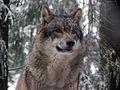 Grauwolf P1130272.jpg