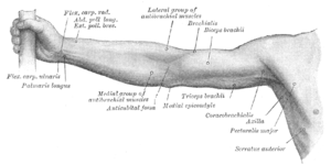 Extensor pollicis brevis muscle - Front of right upper extremity. (Extensor pollicis brevis labeled at upper left.)