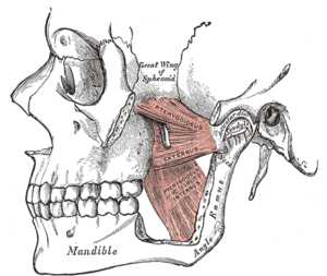Pterygomandibular space - Diagram showing left medial and lateral pterygoid muscles. Part of the zygomatic arch and the ramus of the mandible have been cut away. The pterygomandibular space lies between the lateral surface of medial pterygoid and the medial surface of the mandibular ramus.