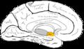Gray727 uncus of parahippocampal gyrus.png