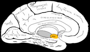 Uncus - Medial surface of left cerebral hemisphere. Uncus is shown in orange.