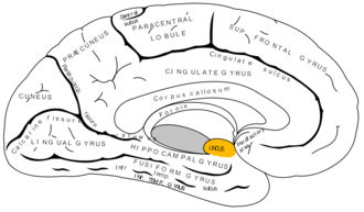 Uncus - Medial surface of left cerebral hemisphere. Uncus is shown in orange.