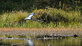 Great Blue Heron (Ardea herodias) in Flight - Algonquin Provincial Park, Ontario 03.jpg