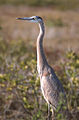Great Blue Heron in Florida.jpg