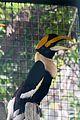 Great Hornbill (24423996894).jpg