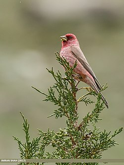 Great Rosefinch (Carpodacus rubicilla) (30494729767).jpg