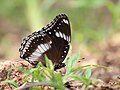 Great eggfly from savandurga IMG 9967.jpg