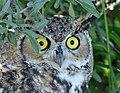 Great horned owl on Seedskadee National Wildlife Refuge (36512564303).jpg