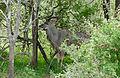 Greater Kudu (Tragelaphus strepsiceros) (16688197937).jpg