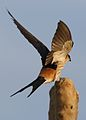 Greater Striped Swallow, Hirundo cucullata (syn. Cecropis cucullata), at Marievale Nature Reserve, Gauteng, South Africa (30506290545).jpg
