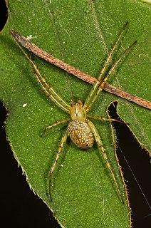 <i>Mangora maculata</i> species of arachnid