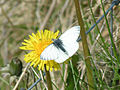 Green-veined White on Dandelion.jpg