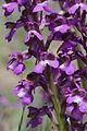 Green-winged Orchid - Anacamptis morio (17333567295).jpg