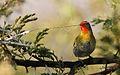 Green-winged Pytilia, Pytilia melba, at Pilanesberg National Park, Northwest Province, South Africa (28442488826).jpg