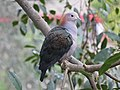 Green Imperial Pigeon RWD4.jpg