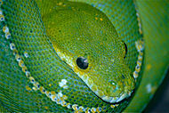 Green Tree Python (Morelia viridis) close-up (10248734806).jpg