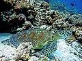 Green Turtle Chelonia mydas.JPG