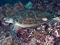 Green sea turtle (Chelonia mydas).jpg