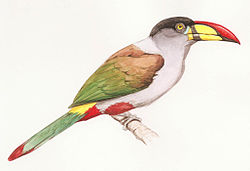 Grey-breasted Mountain Toucan.jpg