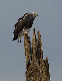 Grey-headed-fish-eagle.jpg