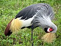 Grey Crowned Crane-3.jpg