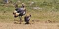 Grey Crowned Cranes Amboseli (7234396752).jpg