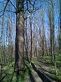 Group of 10 oak trees in Scoreni forest 10.jpg