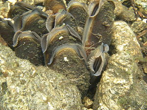 Freshwater pearl mussel - Group of live Margaritifera margaritifera in a river bed in Sweden