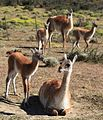 Guanaco herd near Torres del Paine National Park (5483763837).jpg
