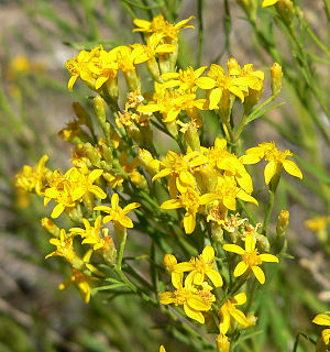 Greasewood - Image: Gutierrezia sarothrae 9