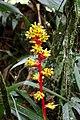 Guzmania weberbaueri (Bromeliaceae) (30024343572).jpg