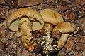 Gymnopilus validipes (Peck) Hesler 299026.jpg
