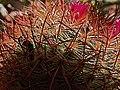 H20140619-2970—Mammillaria (14474488834).jpg