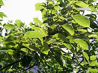 HK ChineseHackberry Leaves