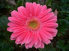 HK Sheung Wan Hollywood Road Park Flower in Pink.JPG
