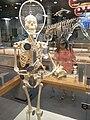 HK TST Science Museum Bones exhibit 21 人類 skeletons.JPG