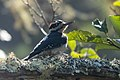 Hairy Woodpecker (male) Muddy Hollow Marin CA 2018-09-24 11-06-42 (43905311960).jpg