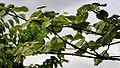 Haldina cordifolia (Haldu) in Ananthagiri forest, AP W IMG 9370.jpg