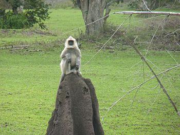 Hanuman Langur, Bandipur NP.jpg