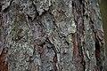 Harilik käätsusikk (Acanthocinus aedilis).jpg