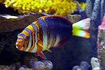 Harlequin tuskfish, Baltimore Aquarium.jpg