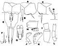 Haslundiella iranica (10.3897-zookeys.806.27320) Figure 5.jpg