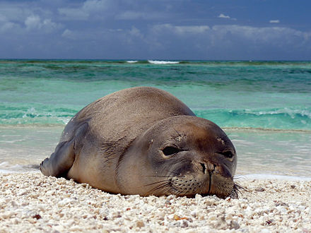 French Frigate Shoals, located in the Northwestern Hawaiian Islands, is protected as part of the Papahanaumokuakea Marine National Monument. Hawaiian monk seal at French Frigate Shoals 07.jpg