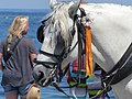 Head of carriage horse in Chania, Creta 11.jpg