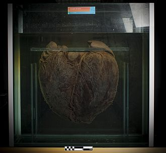 Minke whale - Heart of a Minke whale (Balaenoptera acutorostrata).