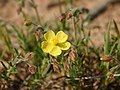 Helianthemum syriacum (inflorescense).jpg