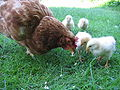 Hen with chickens in native breeding.jpg