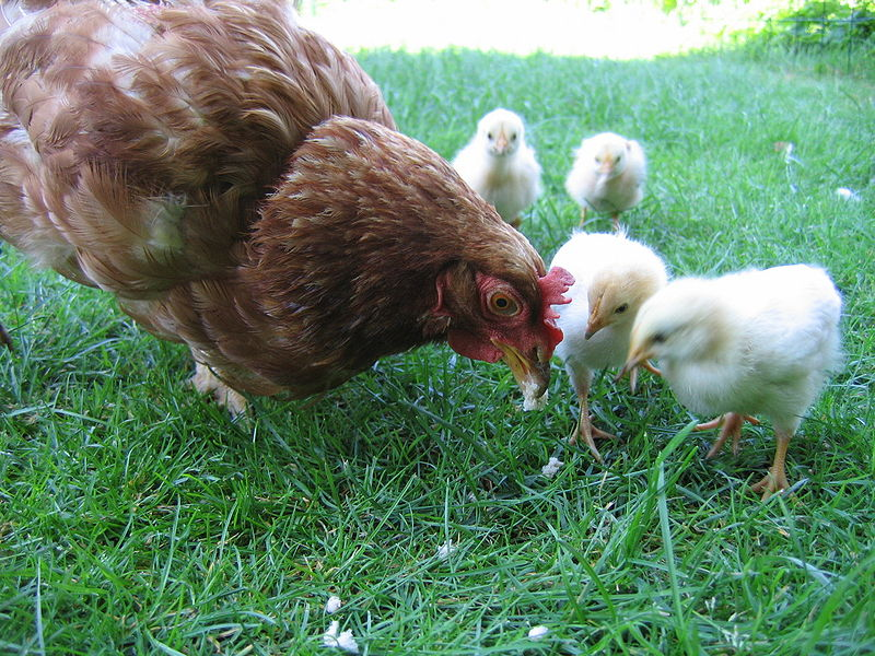 File:Hen with chickens in native breeding.jpg